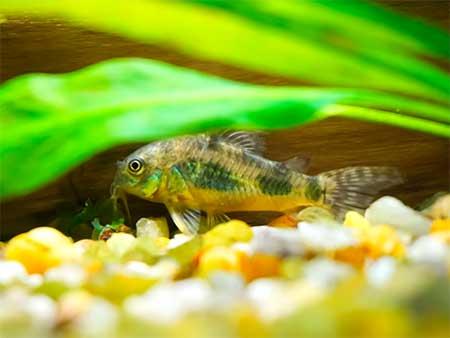 Аквариумные рыбки, особенности видов для содержания в условиях аквариума