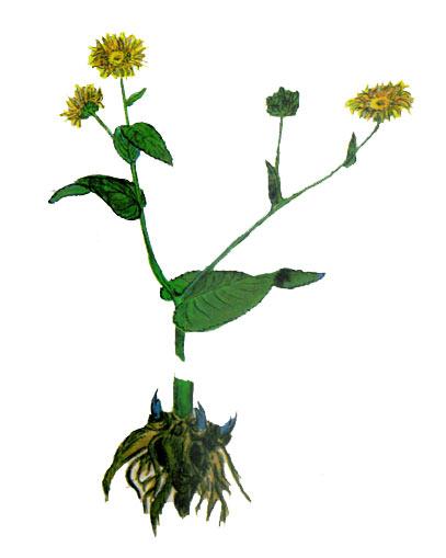 Девясил высокий (девясил лекарственный). Inula helenium L