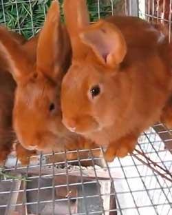 Кормление молодняка кроликов и уход за ними
