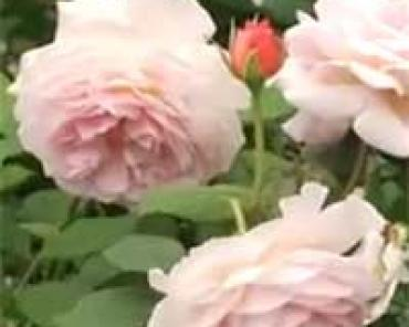 Роза, чайная роза,уход и посадка