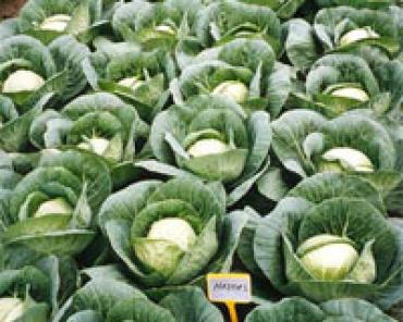 Выращивание капусты...